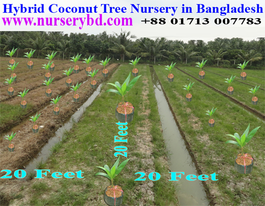Hybrid High Production Coconut Tree Supplier Bangladesh, Hybrid Early Yield High Production Coconut Tree Supplier Bangladesh, Xiem Hybrid Short Coconut Seedling Plant Supplier Company in Bangladesh, Vietnamese Hybrid Short Yellow Coconut Seedling Tree Supplier Bangladesh