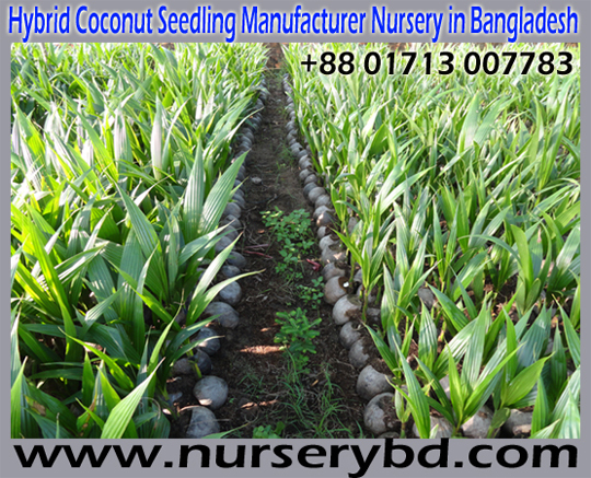 Coconut Seedlings Plant Supplier in India, Coconut Seedlings Plant Supplier in Bangladesh, Vietnamese Coconut Seedlings Plant Supplier in Bangladesh, Vietnamese Hybrid Coconut Seedlings Plant Supplier in Bangladesh, Hybrid Dwarf Coconut Seedlings Plant Supplier Nursery in Bangladesh