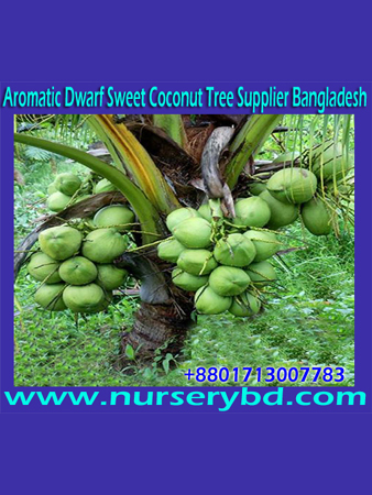 Hybrid Short Coconut Seed Tree Supplier Company in Bangladesh, Bangladesh Hybrid Short Coconut Seed Tree Supplier Company, OP 1 Hybrid Short Coconut Seed Tree Supplier Company in Bangladesh, Xiem Short Coconut Seed Tree Supplier Company in Bangladesh