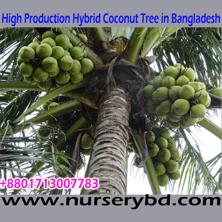Hybrid Coconut Seedling Plant Technical Data, Xiem Coconut Seedling Plant Technical Data, Aromatic Coconut Seedling Plant Technical Data, Hybrid Early Production Coconut Seedling Manufacturer Exporter and Supplier Company in India, Hybrid Early Production Coconut Seedling Manufacturer Exporter and Supplier Company in Bangladesh
