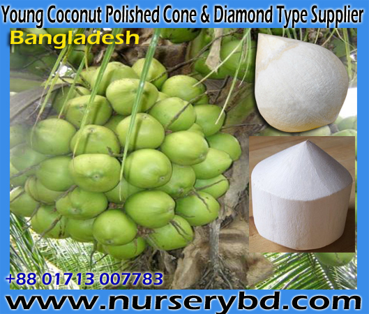 Indonesians Hybrid Dwarf Coconut Tree Supplier in Bangladesh, Vietnamese Hybrid Dwarf Coconut Nursery in Bangladesh, Hybrid Dwarf Coconut Seedling Plant Supplier in Bangladesh, Hybrid Dwarf Coconut Seedling Tree Supplier in Bangladesh, Aromatic Green Dwarf Coconut Seedling Plant