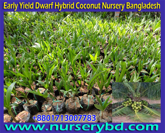 Hybrid Dwarf Coconut Seedling Firming in Bangladesh, Hybrid Coconut Seedling Farming in Bangladesh, Coconut Seedling Farming in Bangladesh, Coconut Seedling Farming Company in Bangladesh, Coconut Seedling Farming Tree Supplier Company in Bangladesh