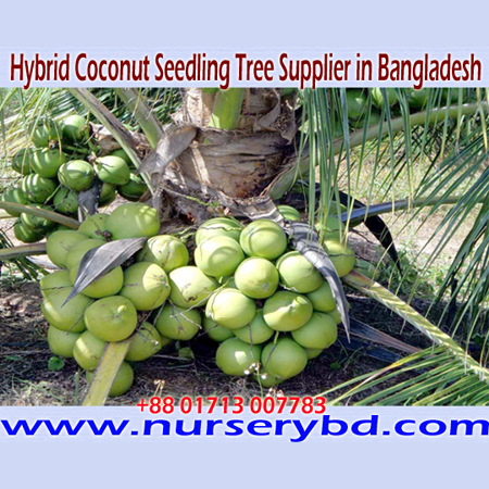 Dwarf Coconut Seedling Plant, Xiem and Aromatic Coconut Seedling Nursery in Bangladesh, Coconut Seedling Manufacturer Exporter and Supplier Nursery in Bangladesh, Hybrid Coconut Seedling Manufacturer Exporter Nursery in Bangladesh, Hybrid Flower Seeds Supplier in Bangladesh