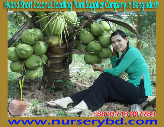 Short Hybrid Coconut Tree Supplier Company in Bangladesh, Short Hybrid Coconut Tree Nursery in Bangladesh, Short Hybrid Coconut Tree Supplier Nursery in Bangladesh, Vietnamese Short Hybrid Coconut Tree Supplier Nursery in Bangladesh, Bangladesh Short Hybrid Coconut Tree Nursery