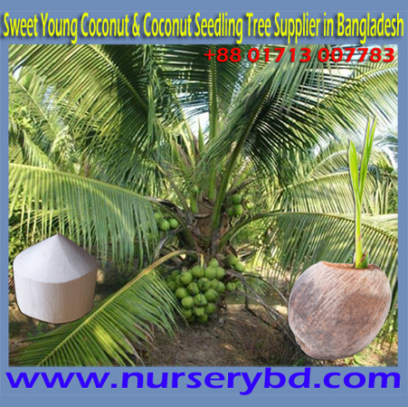 Hybrid, Hybrid Sweet Coconut Seedling Plant Supplier in Bangladesh, Aromatic Coconut Seedling Plantation Systems, Hybrid Coconut Seedling Plantation Systems, Coconut Cultivation Method, Hybrid Coconut Cultivation Technology, Hybrid Xiem Coconut Seedling Cultivation Technology