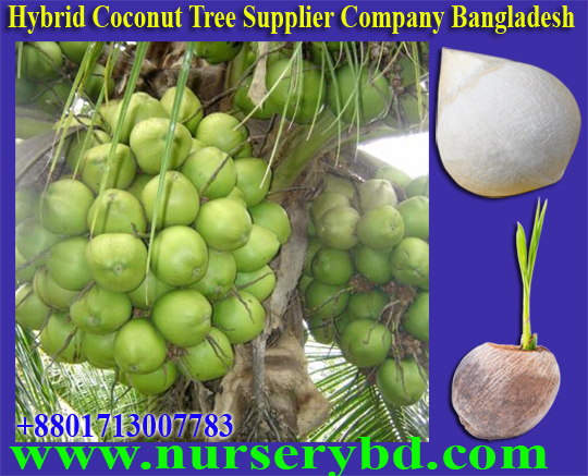 Green Hybrid Coconut Seedling Plant Supplier Company in Bangladesh, Xiem Coconut Seedling Plant Supplier Company in Bangladesh, Red Xiem Coconut Seedling Plant Supplier Company in Bangladesh, Green Xiem Coconut Seedling Plant Supplier Company in Bangladesh