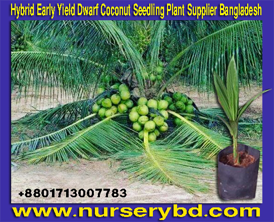 Hybrid Early Yield Dwarf Coconut Tree Nursery in Bangladesh, Short Coconut Seedling Plant in Vietnam, Hybrid Xiem and Aromatic Coconut Nursery in Bangladesh, Imported Hybrid Early Yield Dwarf Coconut Tree Supplier in Bangladesh, Early Production Coconut Tree Supplier Nursery in Bangladesh