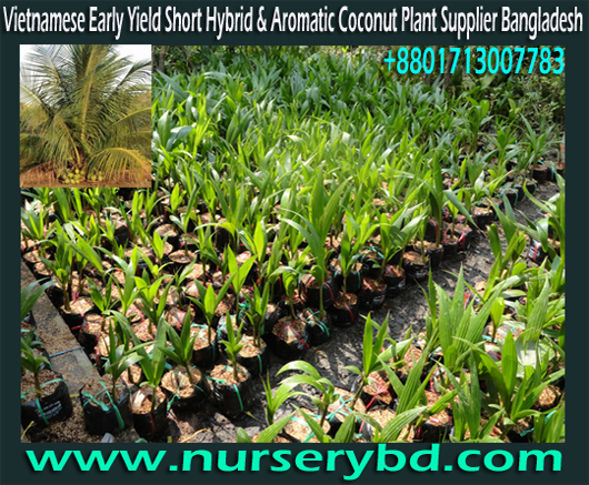 Vietnam Hybrid Green and Blue Coconut Tree Importer and Supplier Bangladesh, Vietnam Hybrid Green and Blue Coconut Tree Importer Company in Bangladesh, Vietnam Hybrid Coconut Tree Importer Company in Bangladesh, Vietnamese Coconut Tree Importer Nursery in Bangladesh