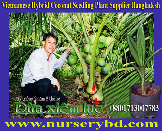 Xiem Short Blue Coconut Seedling Plant Supplier Company in Bangladesh, Xiem Short Blue Coconut Seedling Tree Supplier Company in Bangladesh, Bangladesh Aromatic Green Young Coconut & Coconut Seedling Tree Supplier Company, Thailand Aromatic Green Young Coconut and Coconut Seedling Tree Supplier Company
