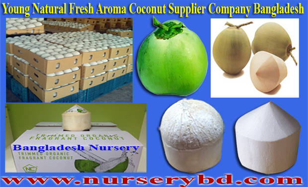 Bangladesh Aromatic Short Green Coconut Seedling Tree Supplier Company, Coconut Nursery Plants Supplier Company in Thailand, Coconut Nursery Plants Supplier Company in Vietnam, Bangladesh Hybrid Seeds Importer and Supplier Company, Bangladesh Hybrid Seeds Importer Exporter and Supplier Company